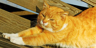 Red cat outside. Stock Photography