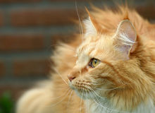 Red cat paying attention. Beautiful red cat paying close attention royalty free stock images