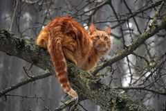 Red cat on a pear tree. Hunter for the birds. Ears tail foot yellow-eyed cat Stock Image