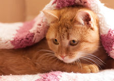 Red cat peeking out from under Stock Images