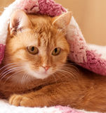 Red cat peeking out from under Stock Photo