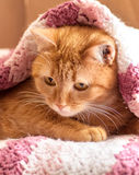 Red cat peeking out from under Stock Photography