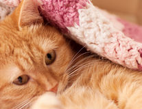 Red cat peeking out from under Royalty Free Stock Photos
