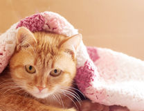 Red cat peeking out from under Royalty Free Stock Photography