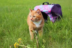 Red cat in pet carrier Stock Photography