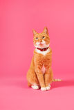 Red cat on pink background Stock Photos