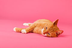 Red cat on pink background Royalty Free Stock Images