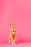Red cat on pink background Royalty Free Stock Photos