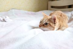 Red cat playing in bed stock image
