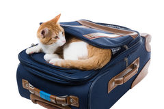 Red cat is in the pocket of a suitcase and looking around Stock Image