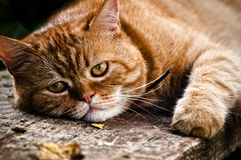 Red cat portrait Royalty Free Stock Images
