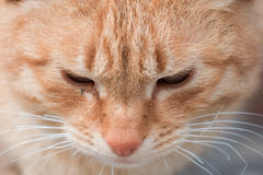 Red cat portrait Royalty Free Stock Image