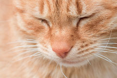 Red cat portrait Stock Images