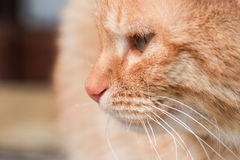 Red cat portrait Royalty Free Stock Photos