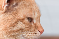 Red cat portrait Royalty Free Stock Photo