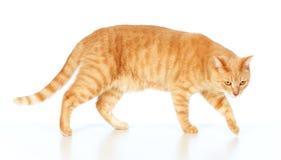 Red cat portrait Stock Images
