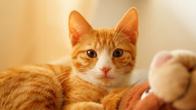 Red cat. Portrait shot of a red european shorthair cat Stock Photography