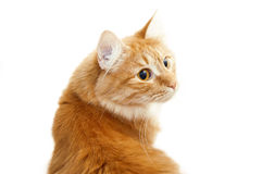 Red cat. Portrait on a white background Royalty Free Stock Image