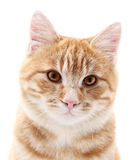 Red cat portrait on white Stock Photos