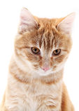 Red cat portrait on white Royalty Free Stock Image