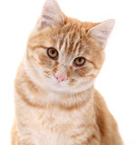 Red cat portrait on white Royalty Free Stock Photography