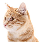 Red cat portrait on white background Royalty Free Stock Photos