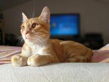 Red cat. Posing gatto rosso in posa cucciolo Royalty Free Stock Image