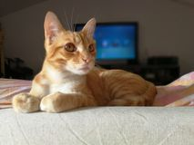Red cat. Posing in living room with side light, pet resting on the couch, looking beside Stock Photography