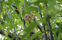 Red cat predator. Auburn pet cat on the hunt in the wild city Royalty Free Stock Photography