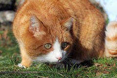 The red cat Royalty Free Stock Photos