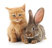 Red cat and rabbit. Stock Photography