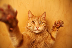 Red cat raised paws up portrait close-up on wooden background. Stock Images