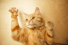 Red cat raised paws up portrait close-up on wooden background. Red cat raised paws up portrait close-up on wooden rufous background. Ginger pet with carroty Royalty Free Stock Photos