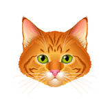 Red cat realistic portrait isolated vector Stock Image