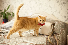 Red cat in a red bow Stock Photos