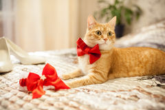 Red cat in a red bow Stock Images