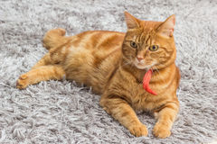 Red cat with red collar Royalty Free Stock Photo