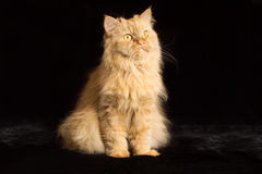 Red cat with red eyes. Red cat on a black background royalty free stock images