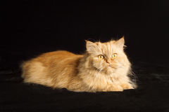 Red cat with red eyes. Red cat on a black background royalty free stock photography