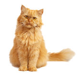 Red cat with red eyes. Red cat on a white background royalty free stock photo