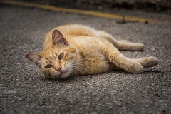 Red cat relaxing on the road Stock Images