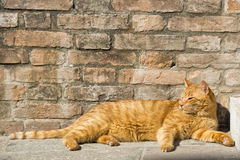 A red cat relaxing Royalty Free Stock Photos
