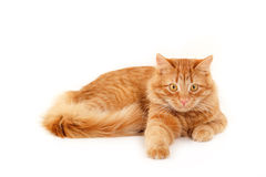 Red cat resting stock photo