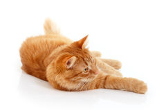 Red cat resting Royalty Free Stock Image