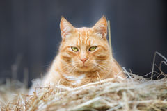 Red cat resting on hay Stock Photos