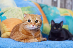 Red cat resting on a sofa with a black cat. Royalty Free Stock Image