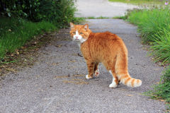 The red cat. Roads are very dangerous for cats Royalty Free Stock Photos