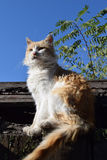 Red cat on the roof. Of the shed in the autumn cold Stock Photography