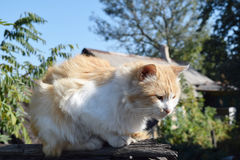 Red cat on the roof Stock Photography