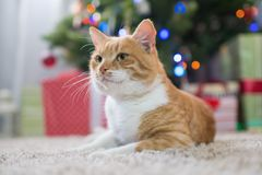 Red cat in the room with Christmas fir. Happy Christmas Stock Photography
